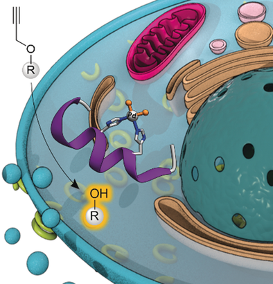 Intracellular Reactions Promoted by Bis(histidine) Miniproteins Stapled Using Palladium(II) Complexes