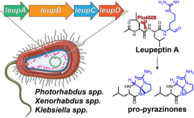 Making and Breaking Leupeptin Protease Inhibitors in Pathogenic Gammaproteobacteria