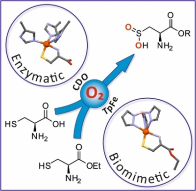 Enhancing Tris(pyrazolyl)borate‐Based Models of Cysteine/Cysteamine Dioxygenases through Steric Effects: Increased Reactivities, Full Product Characterization and Hints to Initial Superoxide Formation