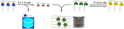 A Mechanochemical Reaction Cascade for Controlling Load‐Strengthening of a Mechanochromic Polymer