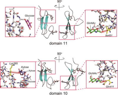 Effect of Site‐Specific O‐Glycosylation on the Structural Behavior of NOTCH1 Receptor Extracellular EGF‐like Domains 11 and 10