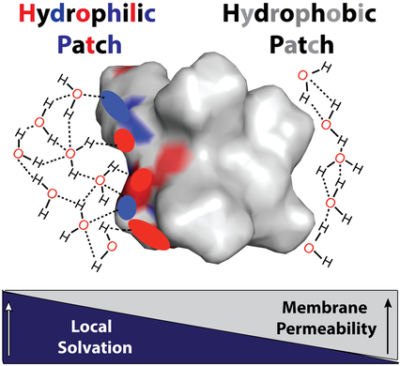 Connecting Hydrophobic Surfaces in Cyclic Peptides Increases Membrane Permeability