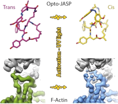 Cryo‐EM Resolves Molecular Recognition Of An Optojasp Photoswitch Bound To Actin Filaments In Both Switch States