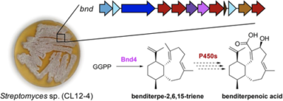 Discovery and Biosynthesis of a Structurally Dynamic Antibacterial Diterpenoid