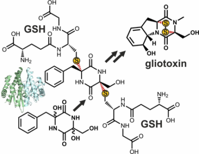 Structural and Mechanistic Insights into C−S Bond Formation in Gliotoxin