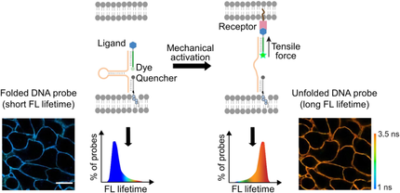 Quantitative and Multiplexed Fluorescence Lifetime Imaging of Intercellular Tensile Forces