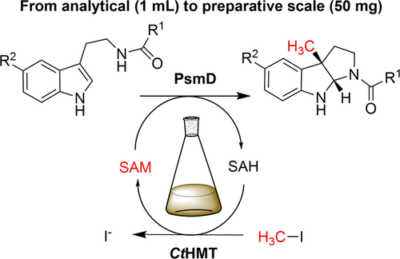 Biocatalytic C3-Indole Methylation—A Useful Tool for the Natural-Product-Inspired Stereoselective Synthesis of Pyrroloindoles