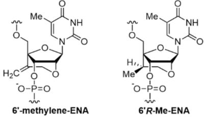 Synthesis and Properties of Oligonucleotides Containing 2′-O,4′-C-Ethylene-Bridged 5-Methyluridine with Exocyclic Methylene and Methyl Groups in the Bridge